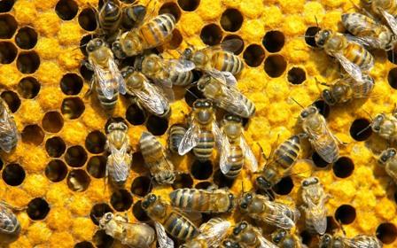 Arılar dünyanı məhv olmaqdan necə xilas edir? – Eynşteynin dini kitabla razılaşması
